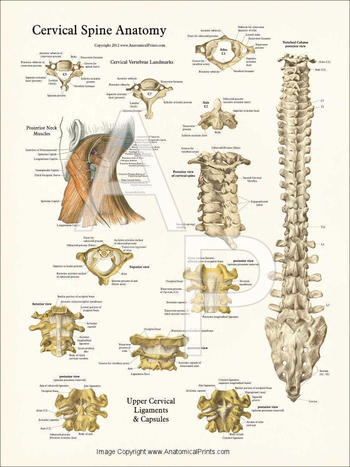 Human Spine Anatomy Posters 18 X 24 Anatoma 2 Pinterest Workout