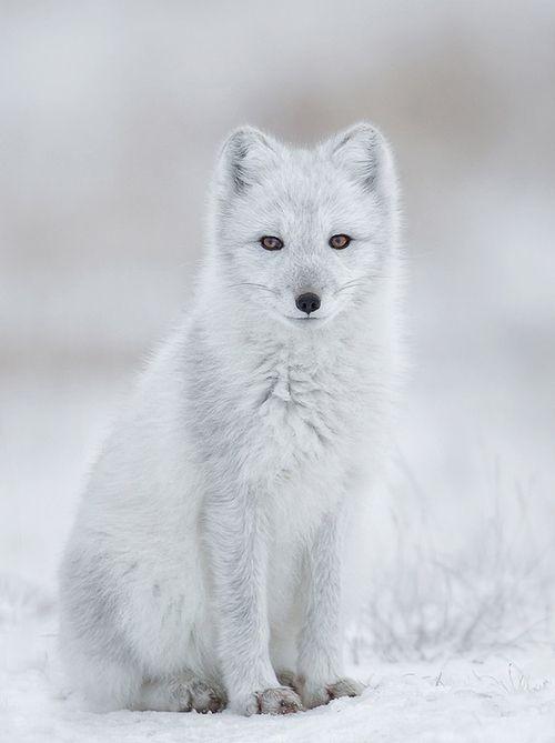 Arctic fox by Charles Glatzer