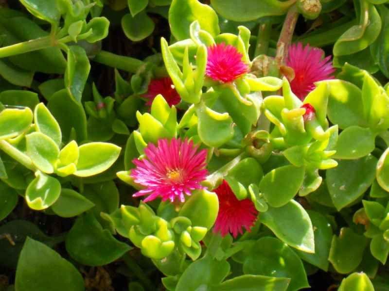 Aptenia cordifolia detalle 1 plantas cactus y suculentas for Cactus cuidados exterior