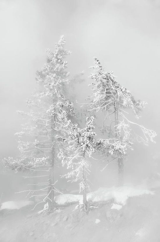Trees in the fog mist, Yellowstone