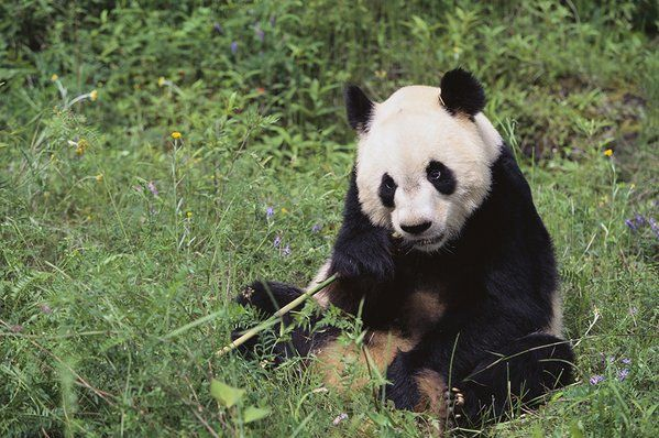 Greenpeace East Asia On Twitter Riesenpanda Panda
