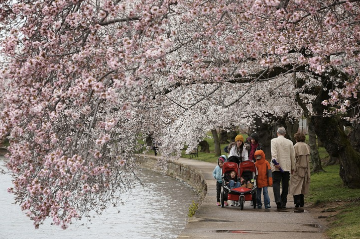 Is An Epic Pic With A Cherry Blossom Tree On Your Bucket List Here S Where You Can Find Them In The U S Cherry Tree Cherry Blossom Cherry Blossom Tree