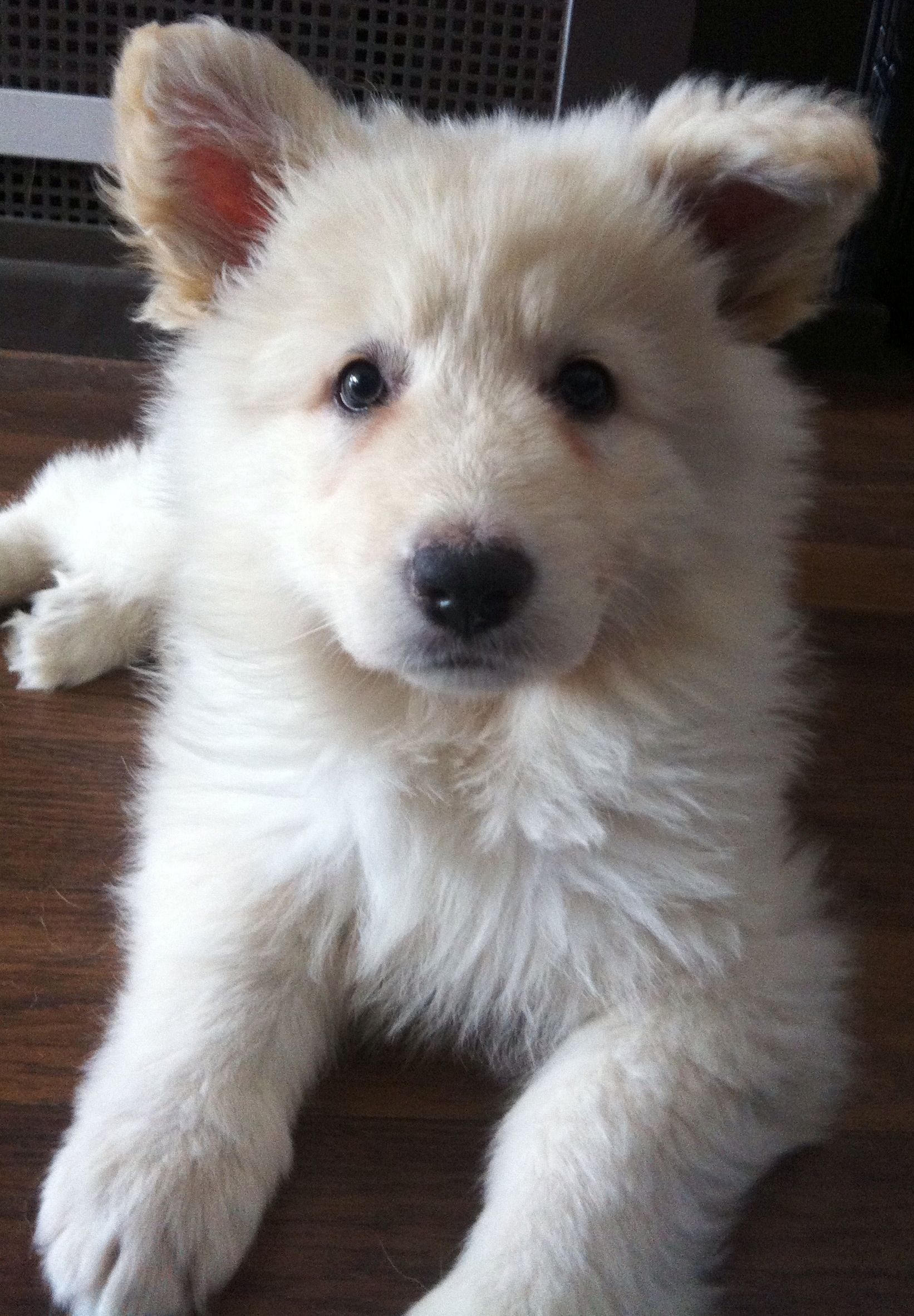White German Shepherd Puppy German Shepherd Puppies Shepherd