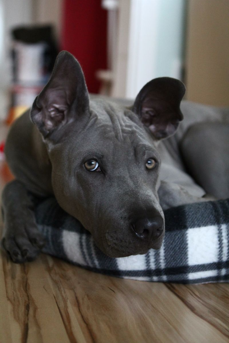 Thai Ridgeback He Is So Amazing 3 Dog Breeds Unique Dog Breeds