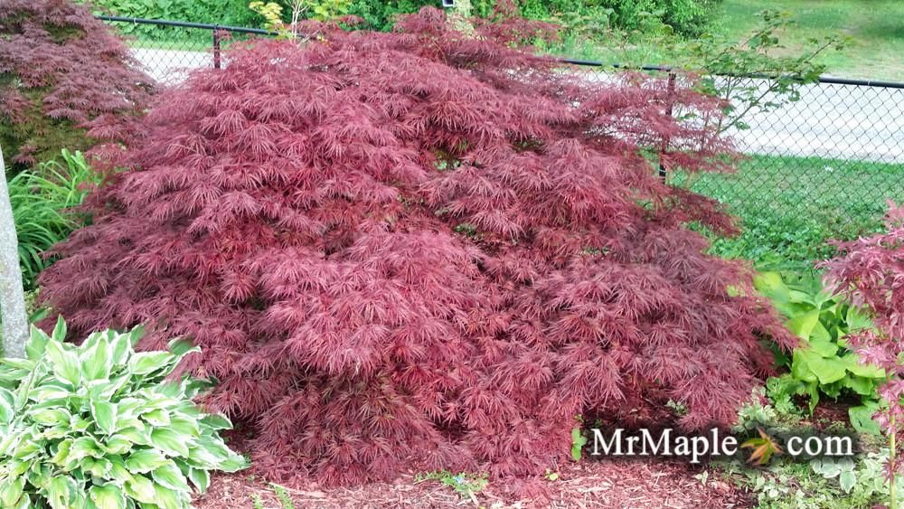 Acer Palmatum Crimson Queen Laceleaf Japanese Maple Ben Maiden