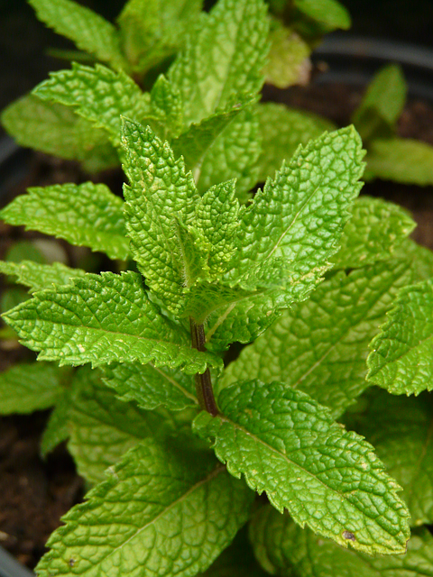 Lemon Balm: is classified as a stimulating nervine, or nerve tonic, and though it has a soothing effect on the nervous system and alleviates anxiety, it is not a simple sedative. Lemon balm is particularly indicated for nervous problems that have arisen from long-standing stress and for anxiety accompanied by headache, sluggishness, confusion, depression, and exhaustion. http://health.howstuffworks.com/wellness/natural-medicine/herbal-remedies/lemon-balm-herbal-remedies.htm