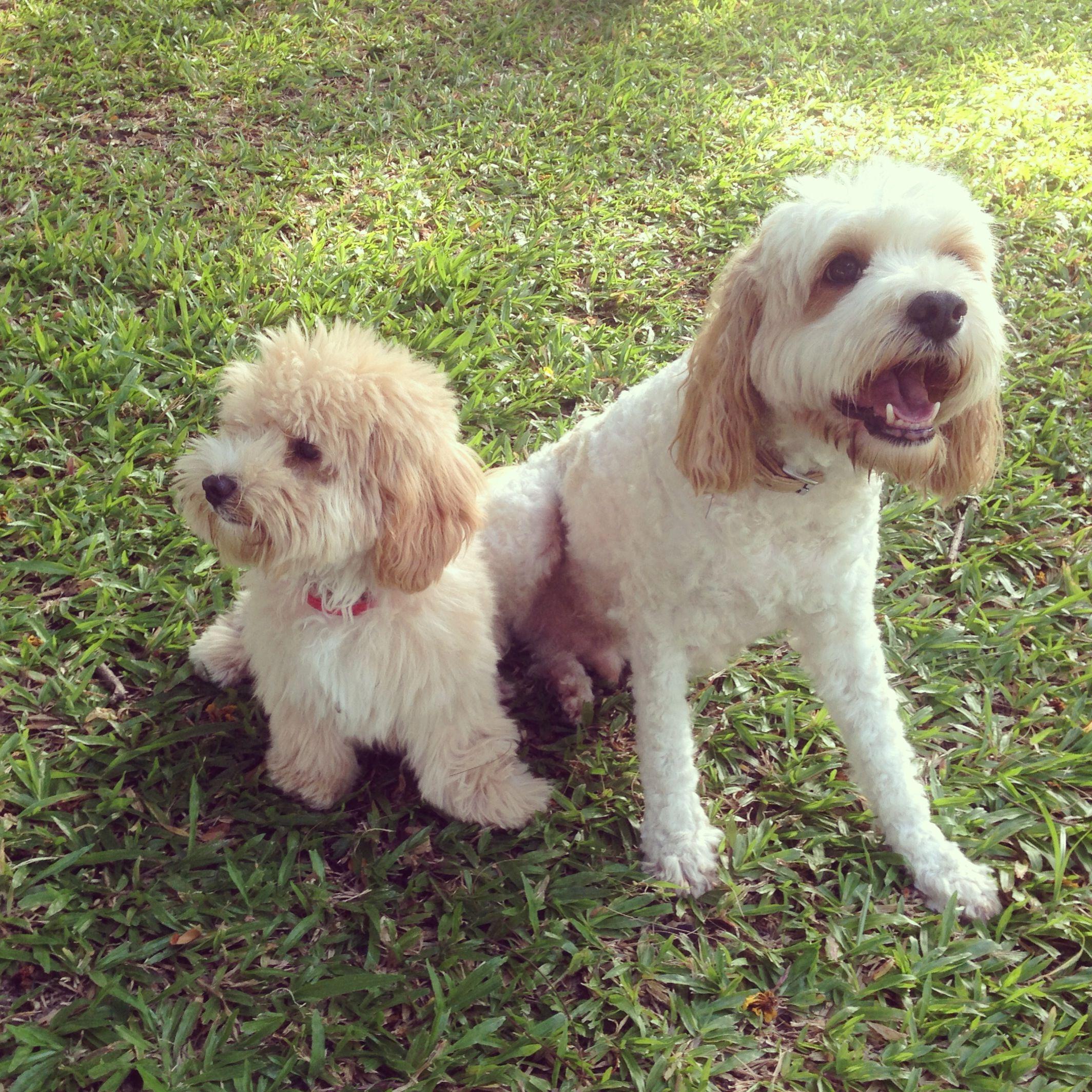 Poodle Cross Breeds Dog Forum Blog Online Pet Supplies For Dogs Myoodle Dog Crossbreeds Poodle Cross Breeds Poodle