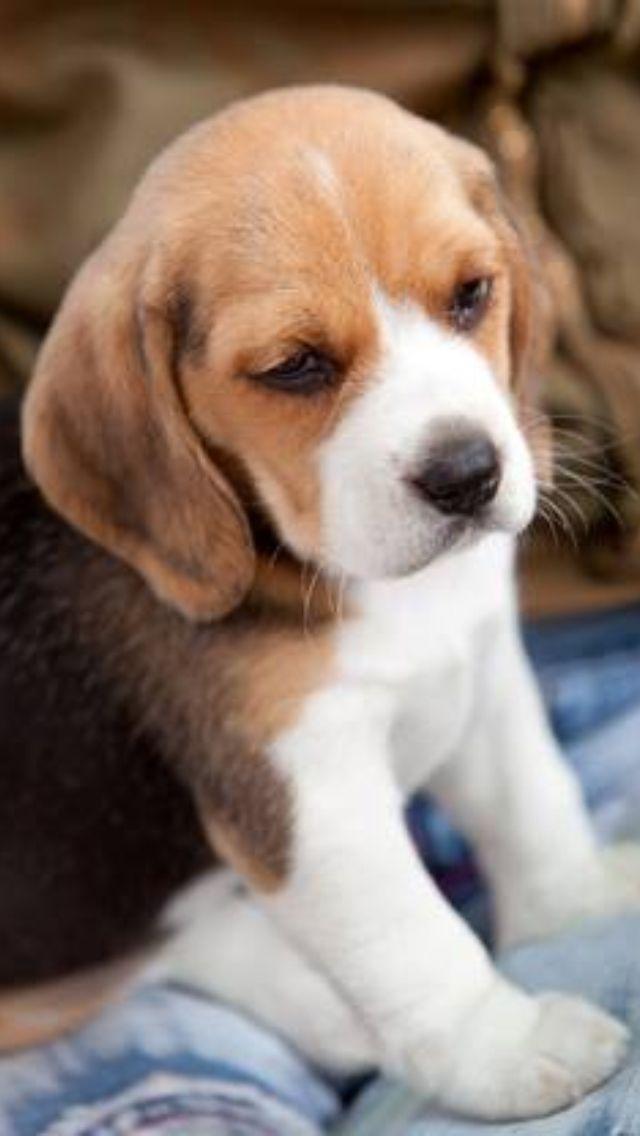 Beagle Pup So Cute I Want One Schattigste Dieren Honden Grappige Huisdieren