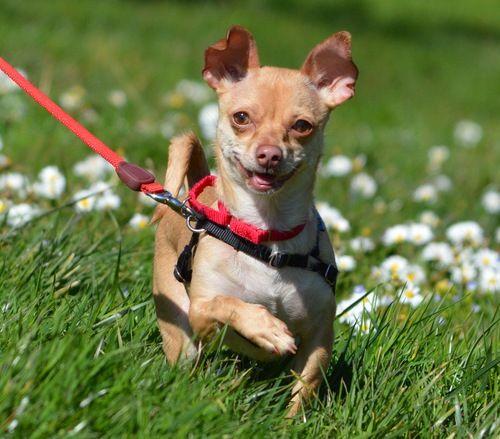 10 14 13 Lena Is An Adoptable Chihuahua Dog In San Francisco Ca