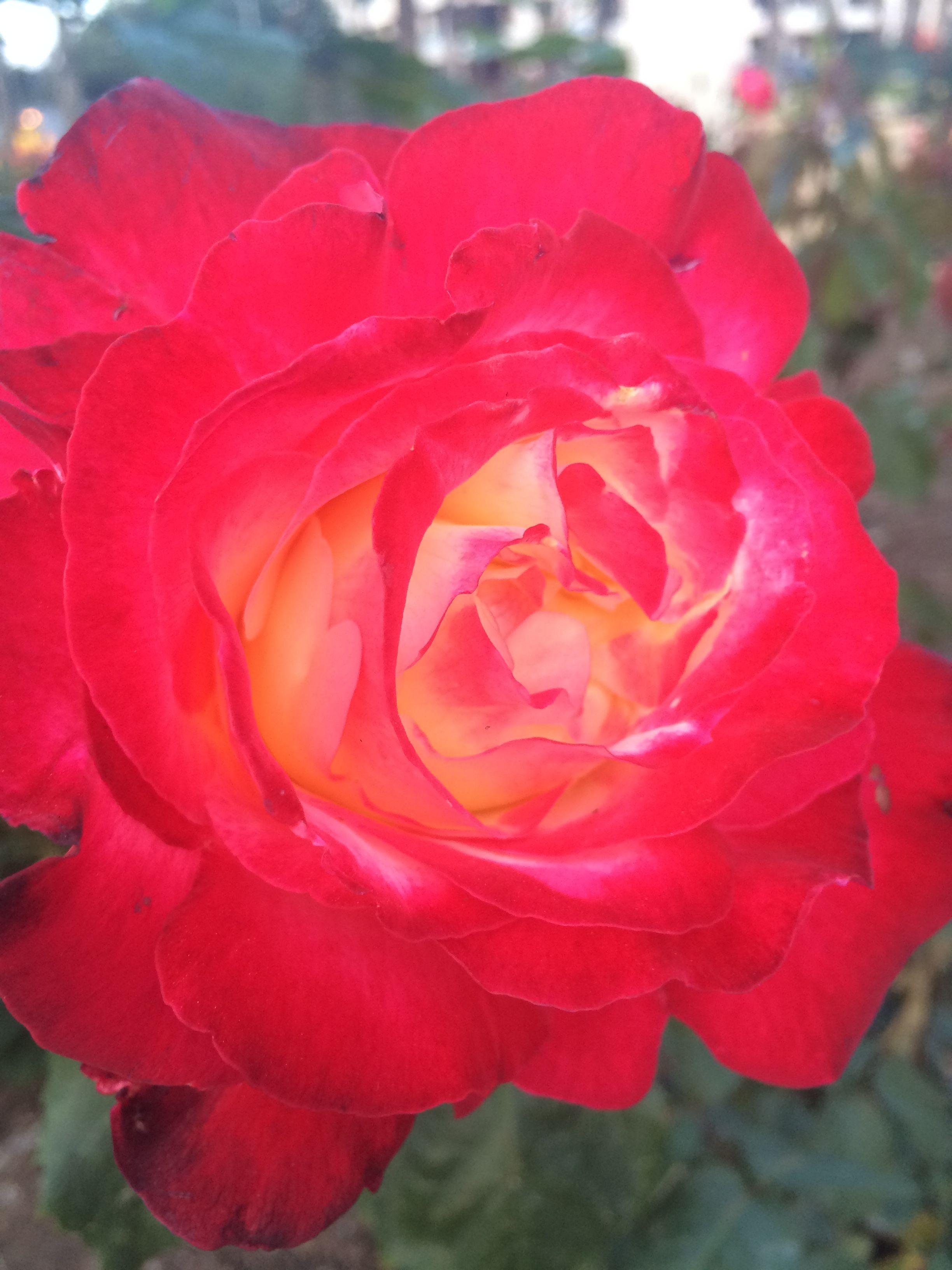 Santa Monica rose garden
