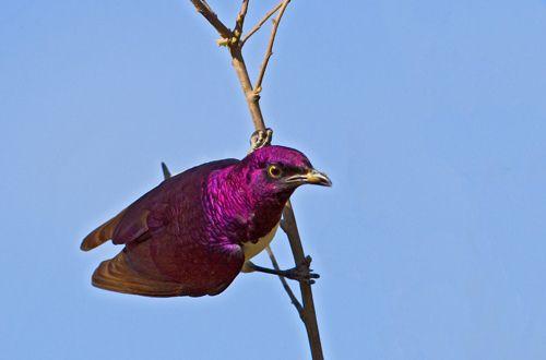 54 Plum-coloured Starling   por Sabi Sabi Private Game Reserve