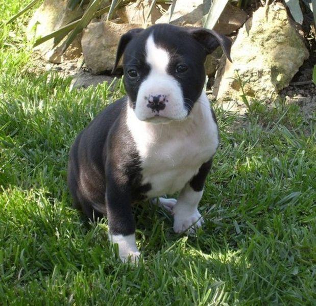 Amerikai Staffordshire Terrier American Staffordshire Terrier