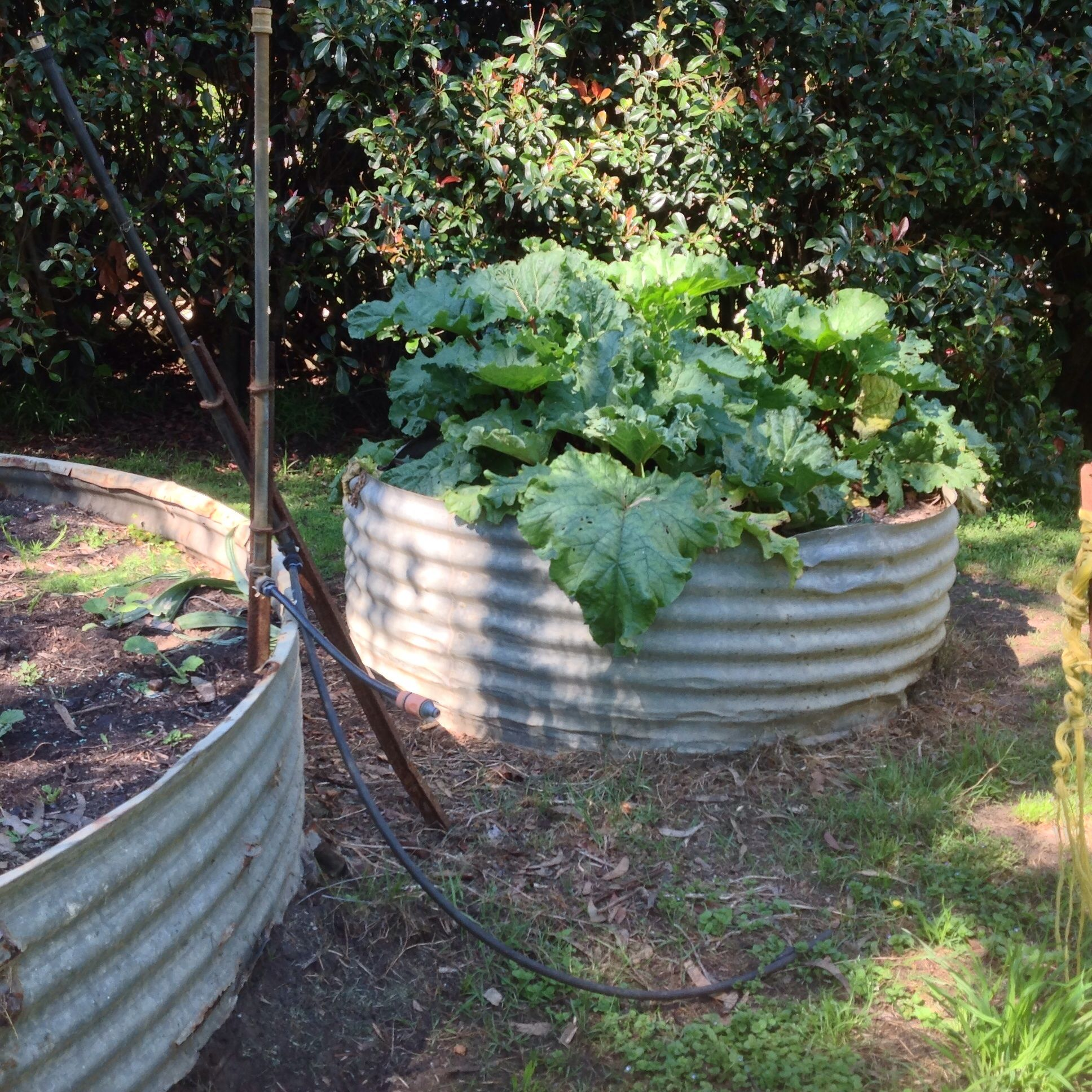 Growing Healthy Rhubarb We Use Old Corrugated Iron Water Tanks
