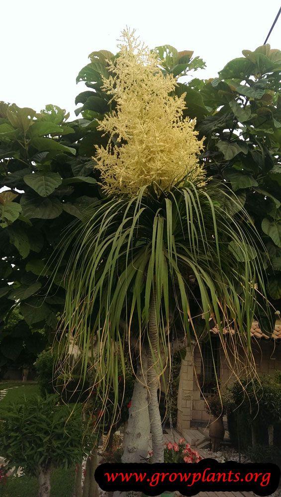 Ponytail Palm Flower Flowers Ponytail Palm