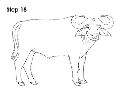 How To Draw An African Cape Buffalo African Buffalo African