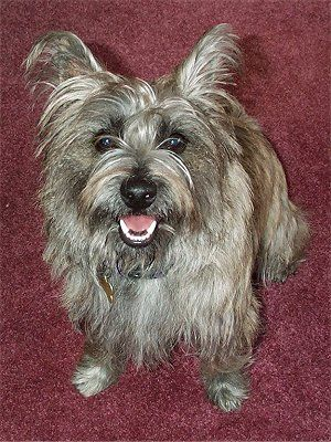 6 Month Old Female Cairland Terrier Cairn Terrier Westie Hybrid