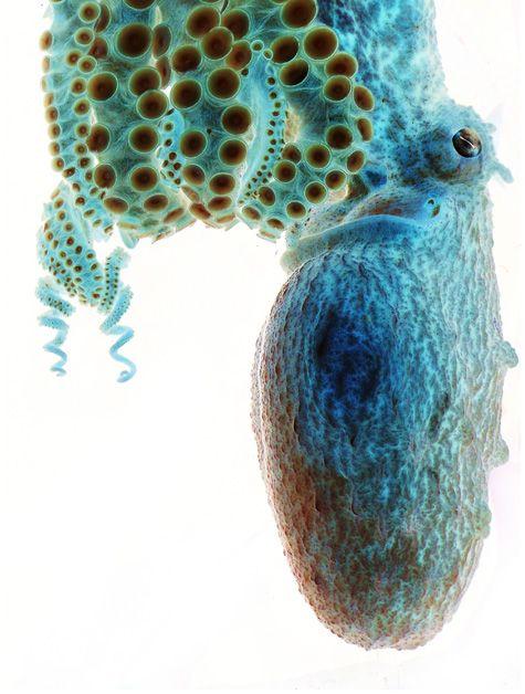 Negative Image Of An Octopus Beautiful Creatures Octopus Sea Life