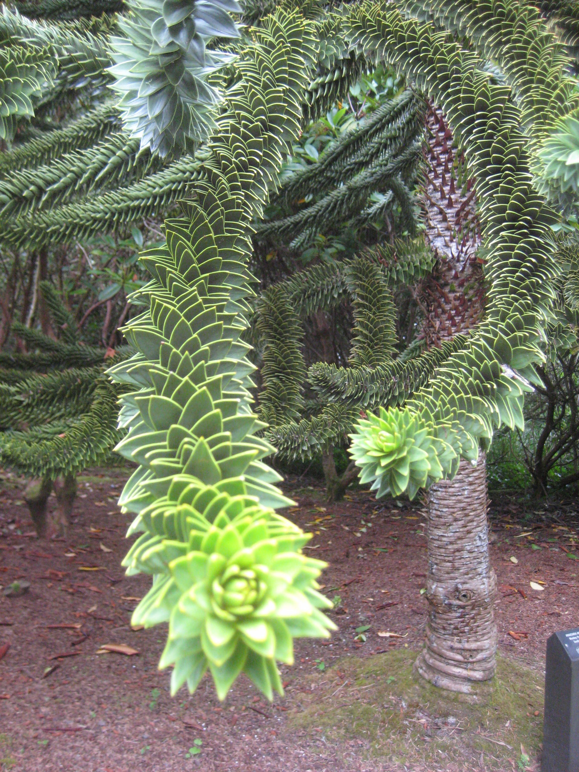 My Favorite Tree Monkey Puzzle Tree On The Or Coast Weird Trees