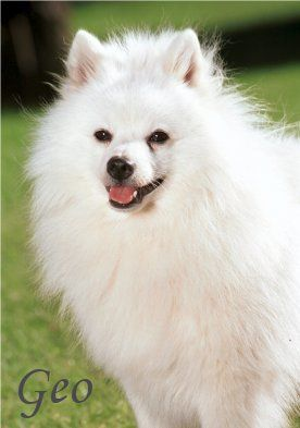 Volpino Italiano Volpino Italiano Italian Spitz Dogs Japanese