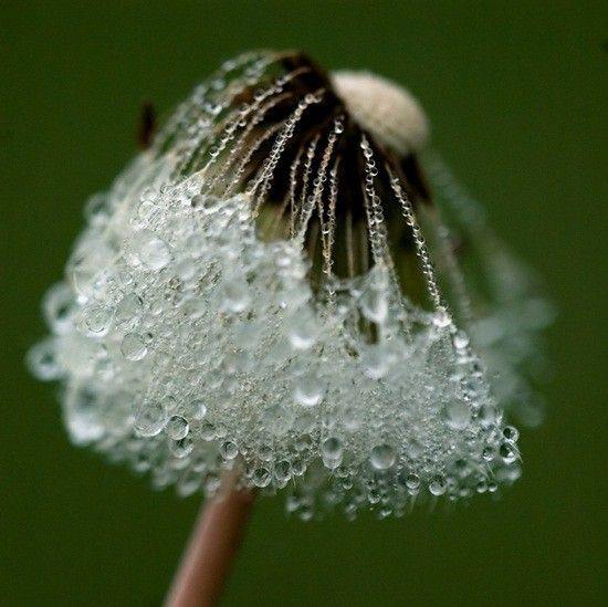 dandelion dew