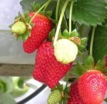 Grow your own strawberries.