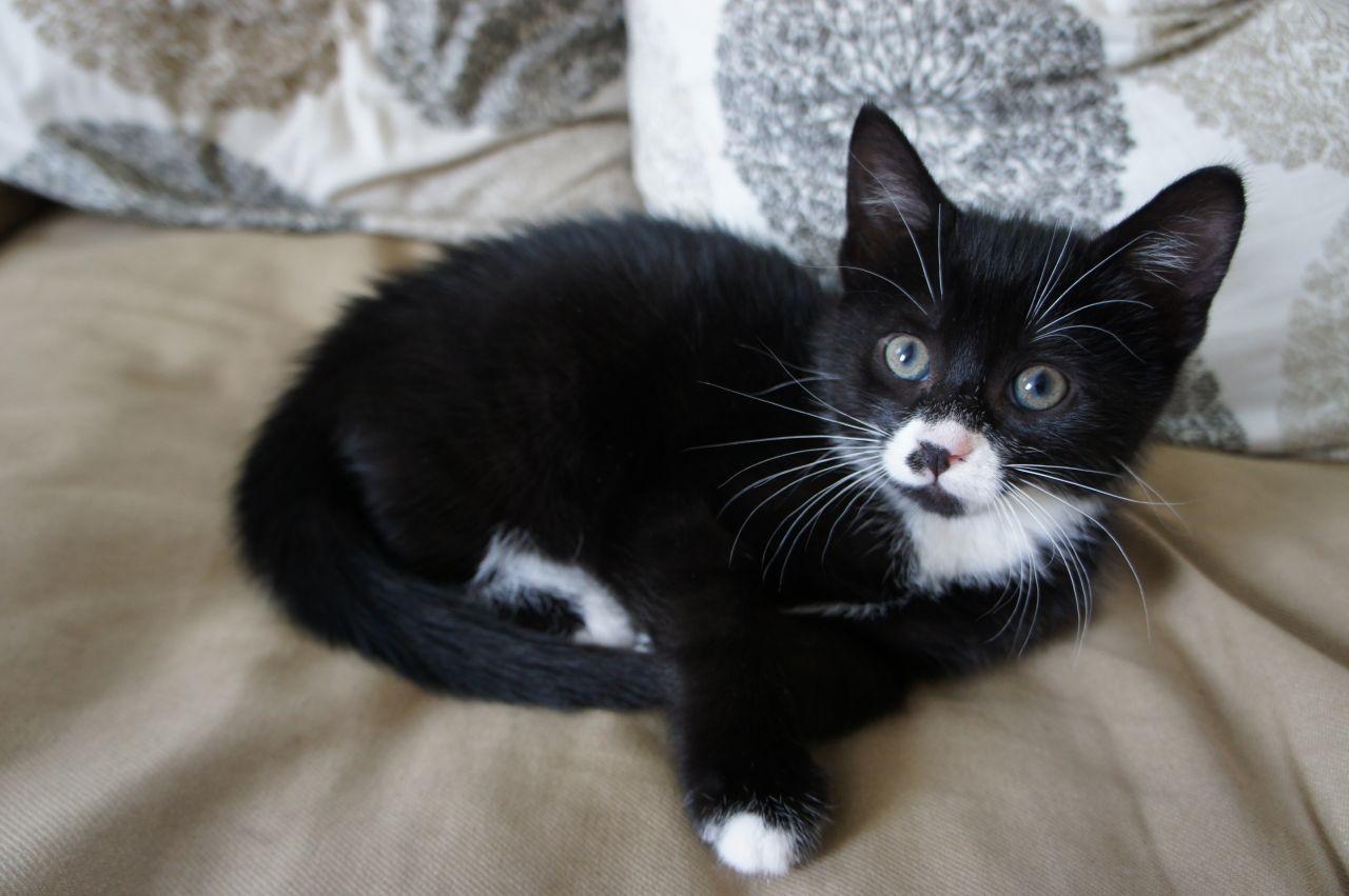 Cute Male Black And White Kitten 9 Weeks Old Kittens Black