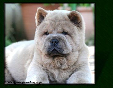 Chow Chows Puppy Fawn Smooth Chow Chow Puppy Chow Chow Boo