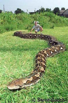 Snake Types Anaconda Snake