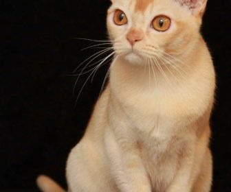 European Burmese Cat Breeders With The Color Yellow To Ecobliss European Burmese Cat Breeders Cats Burmese Cat Burmese Cat Breeders Cat Breeder