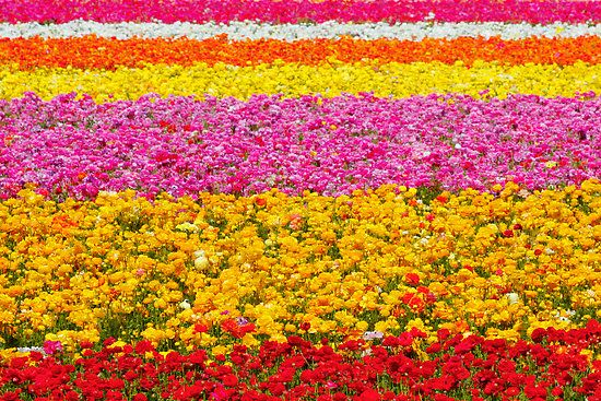 Field Of Flowers In Carlsbad Calif By Armstrong Nursery Acres And Can Be Seen From The Interstate 5