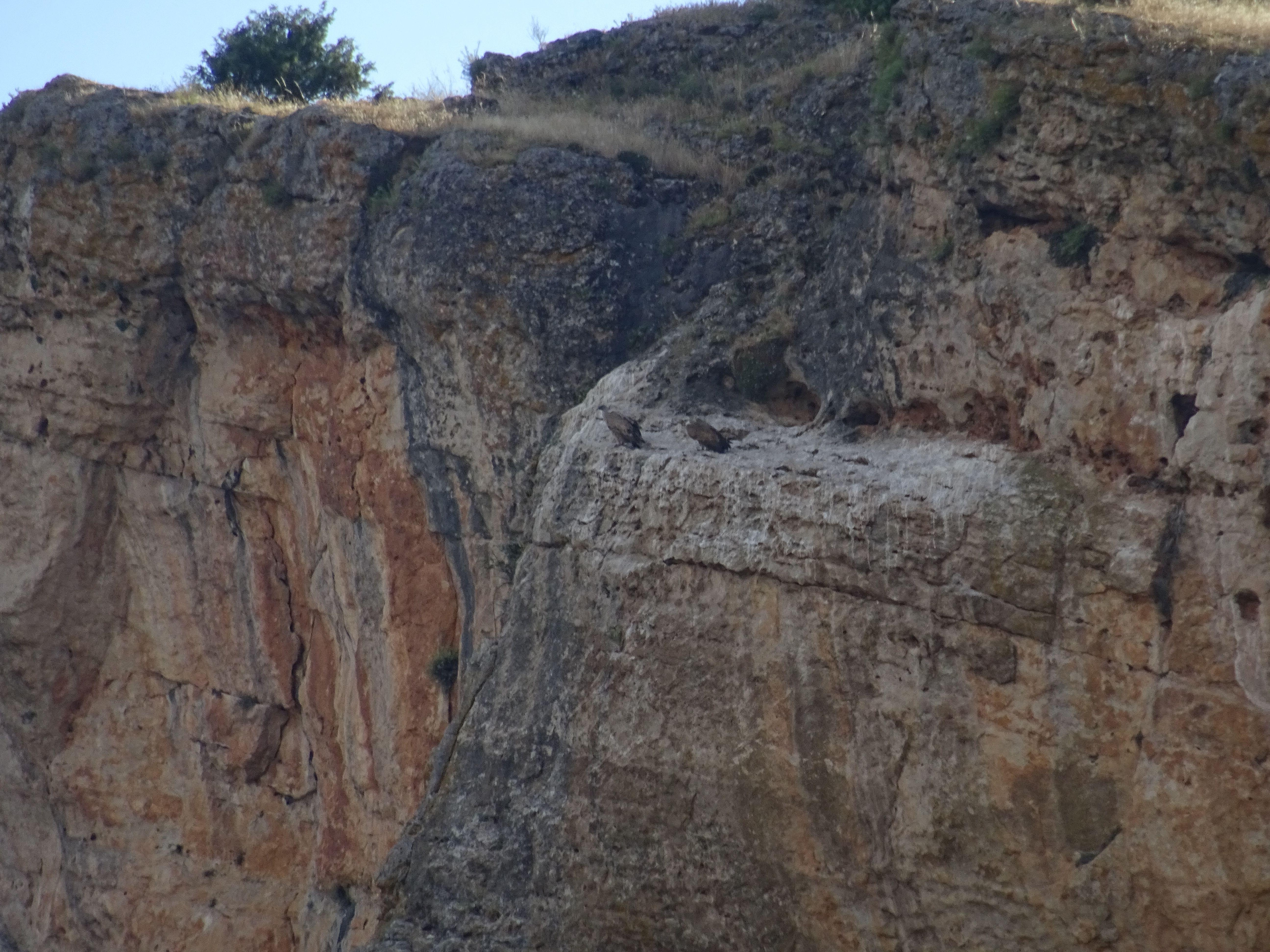 Dos buitres leonados con su plumaje gris oscuro están sentados en una cornisa de la pared de caliza, detrás suyo vemos todas las mini cuievas formadas por procesos kársticos