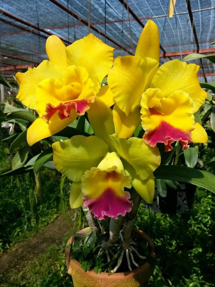 Cattleya Orchid Cattleya Orchid Orchids Cattleya Orchid Orchid Plants