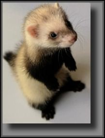 Raising Baby Ferrets...One Of Mother Natures Cutest Babies.