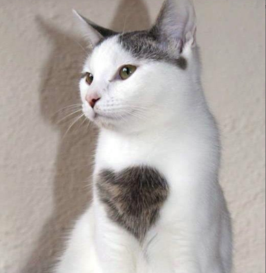 What a beautiful cat with a heart on the front.