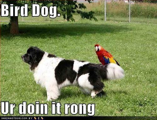 Bird Dog Newfie!