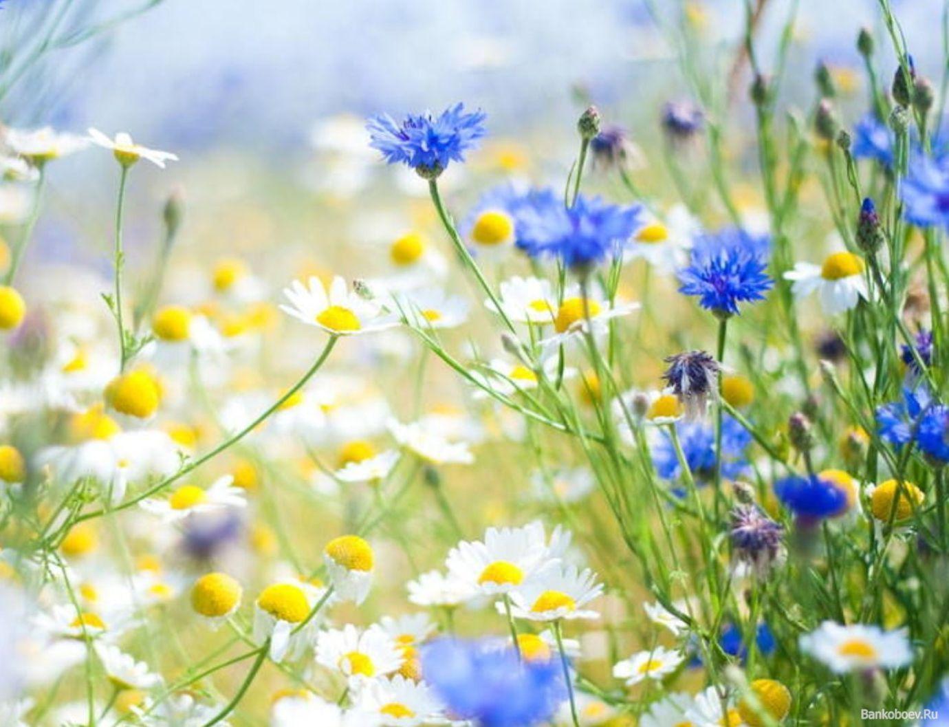 обои Ромашки и васильки фото | Ромашки, Цветоводство, Цветы