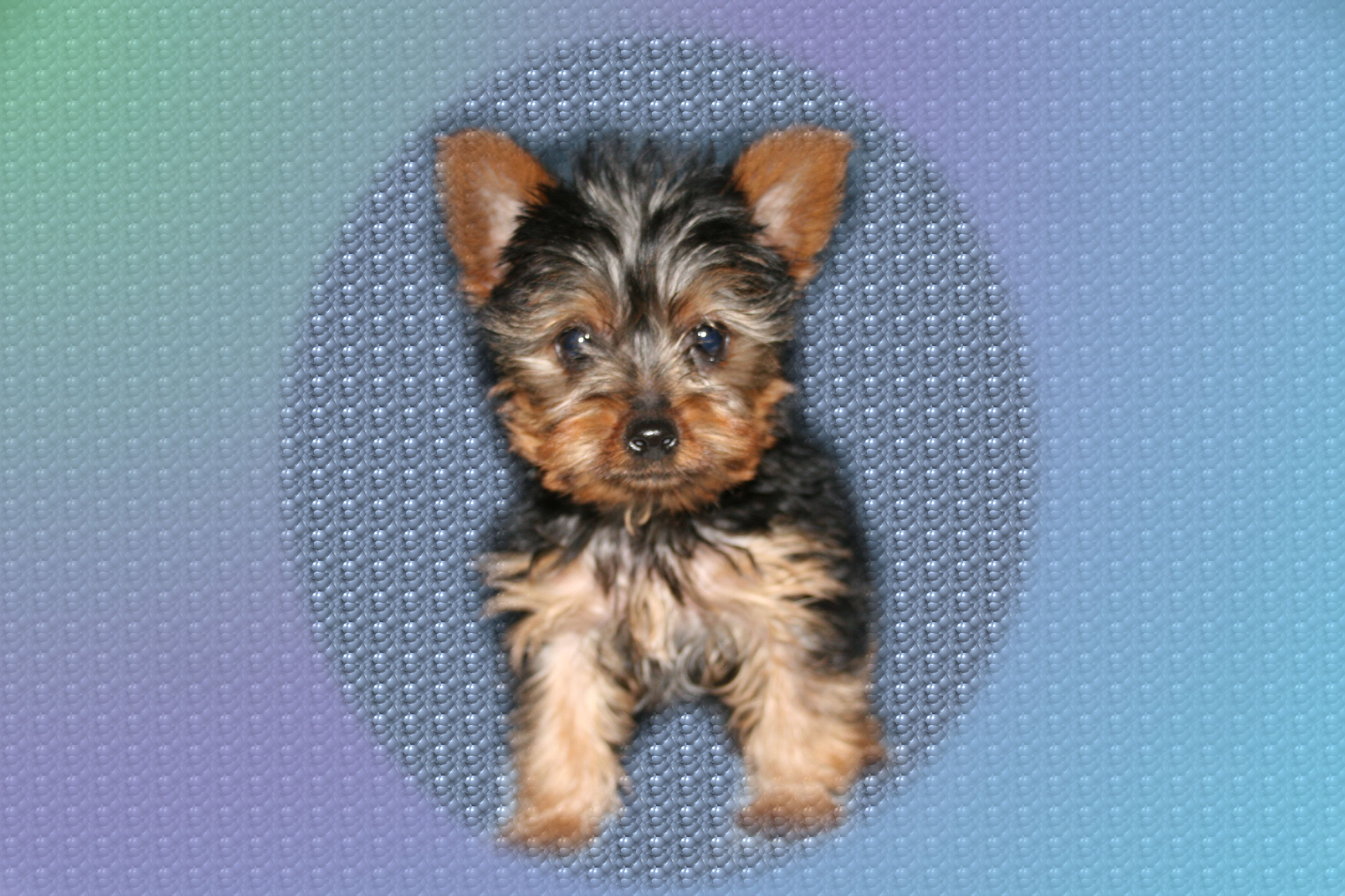 Short Hair Yorkie Pictures Things I Want Pinterest Yorkies