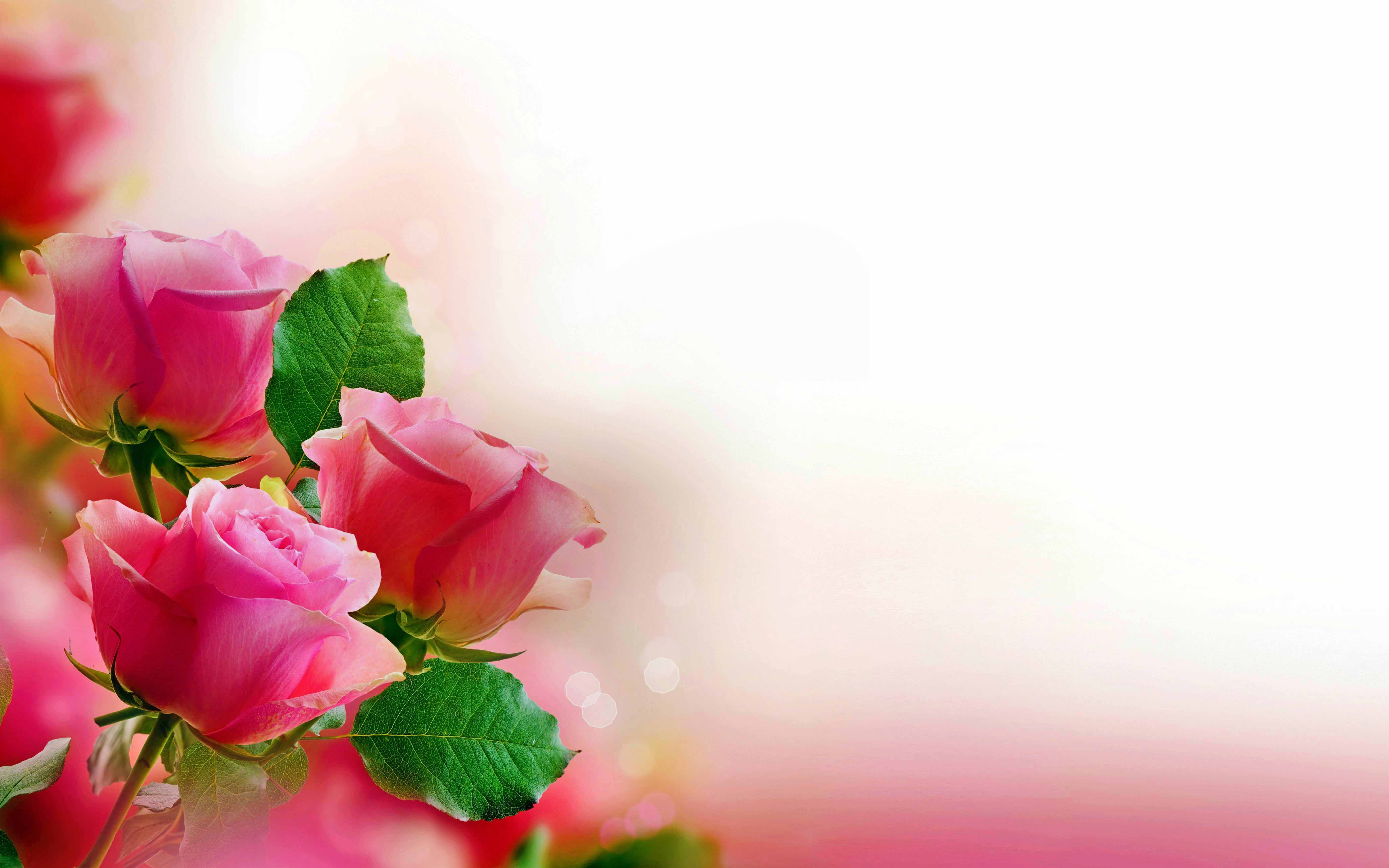 Pink Rose Wallpaper Flowers Nature Wallpapers For Free Download Rose Flower Wallpaper Flower Images Flower Images Wallpapers
