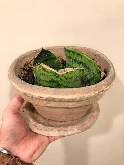 Snake Plant Propagation By Leaf Cuttings | Propagating ...