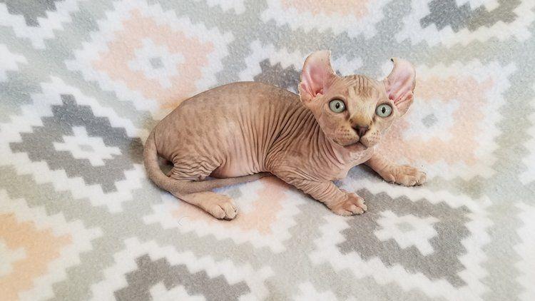 Nnnnn Jpg Sphynx Kittens For Sale Baby Hairless Cat Hairless Kitten