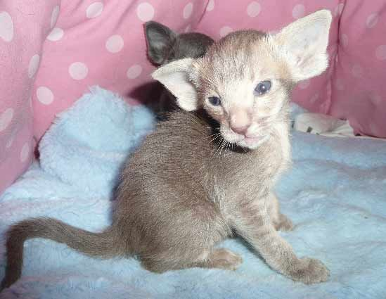 Purrsia Cattery - Oriental Short Hair, Siamese, and ...