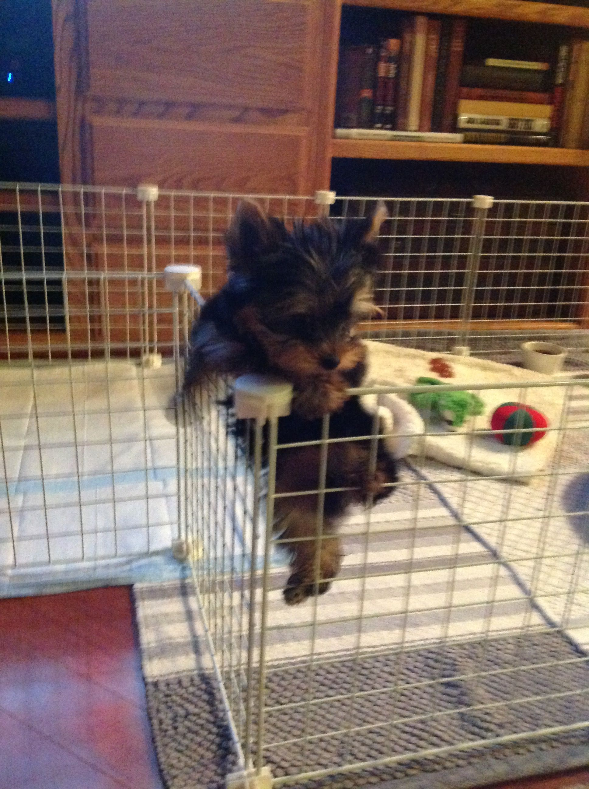 The Climber Yorkie Puppy Yorkshire Terrier Puppies Yorkshire Terrier