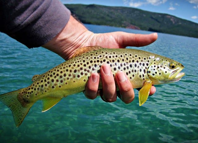 Sweet Redemption Fish Brown Trout Fishing Photos
