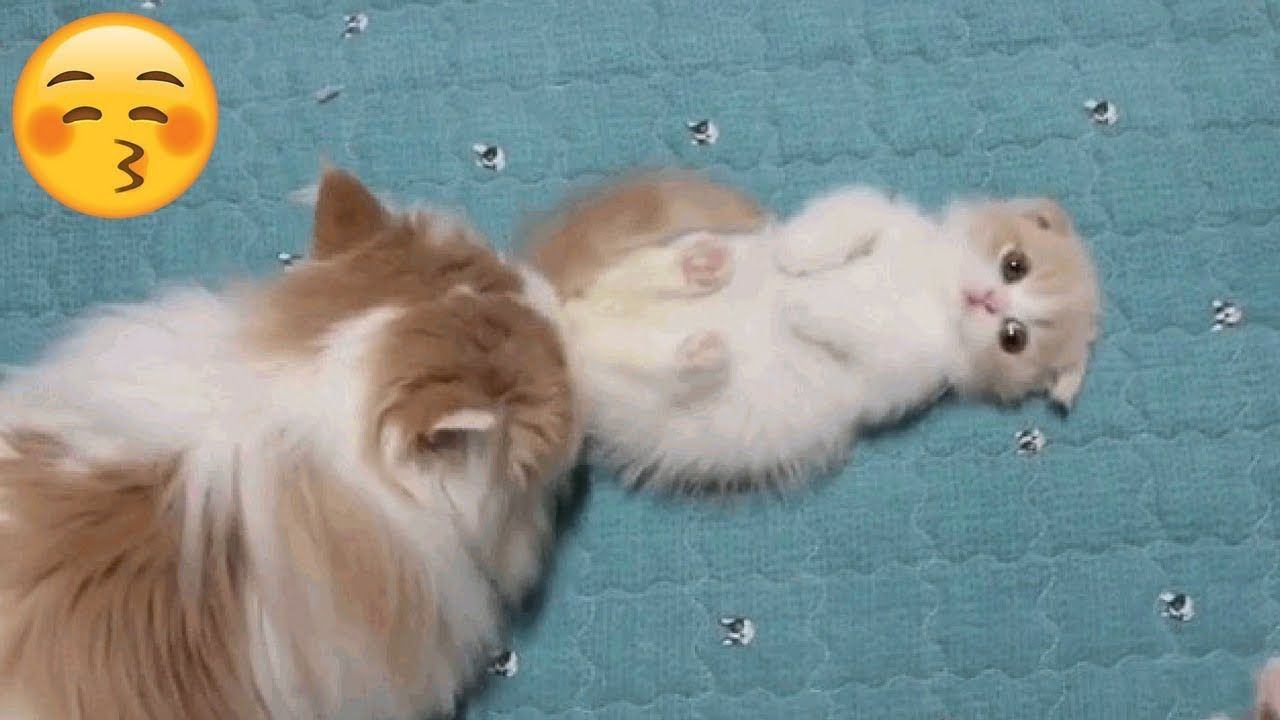 Loving Relationship Between Munchkin Kitten And Mom Munchkin Kitten Munchkin Cat Cat Work