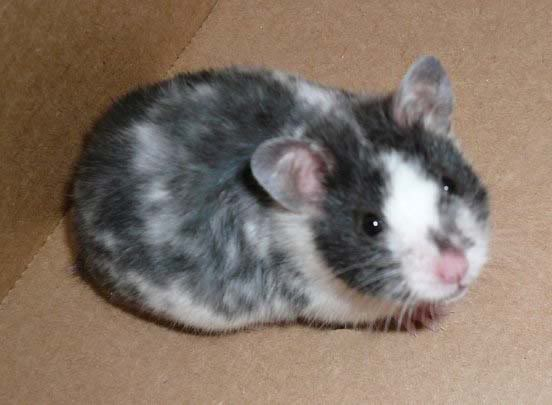 Black Dominant Spot Hamster Hamster Breeds Syrian Hamster