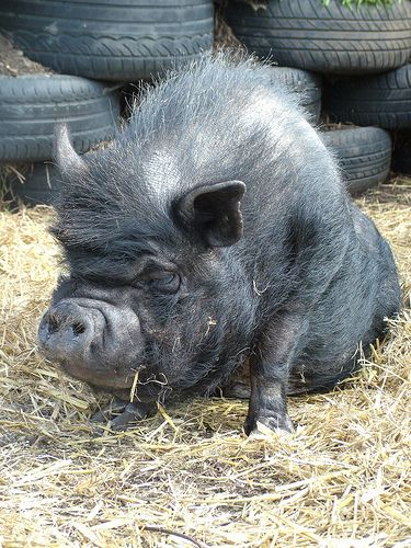 Did you know that Potbellied pigs have an average lifespan