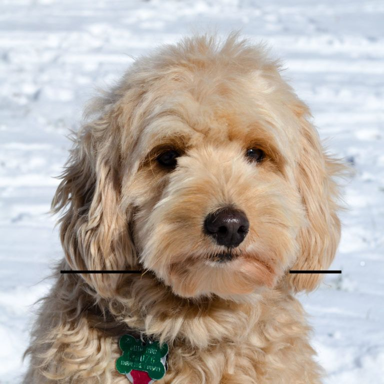 How to trim a goldendoodles face yourself with images