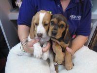Puppy Shack Puppies For Sale Brisbane Queensland Bichon Beagle Mini Dachshund Cavalier Spoodle Poodle Pug Ch Puppies For Sale Mini Dachshund Puppies