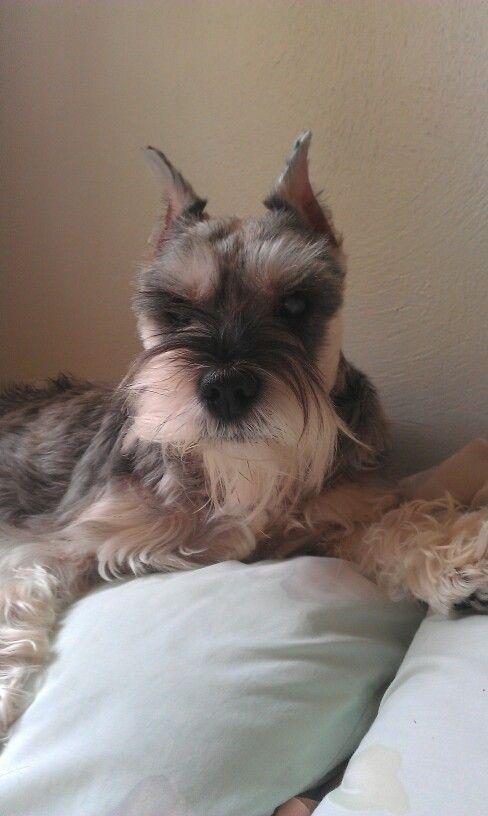 Mini Schnauzer Named Woowoo From Virginia Beach Va Pets Mini Schnauzer Love Pet