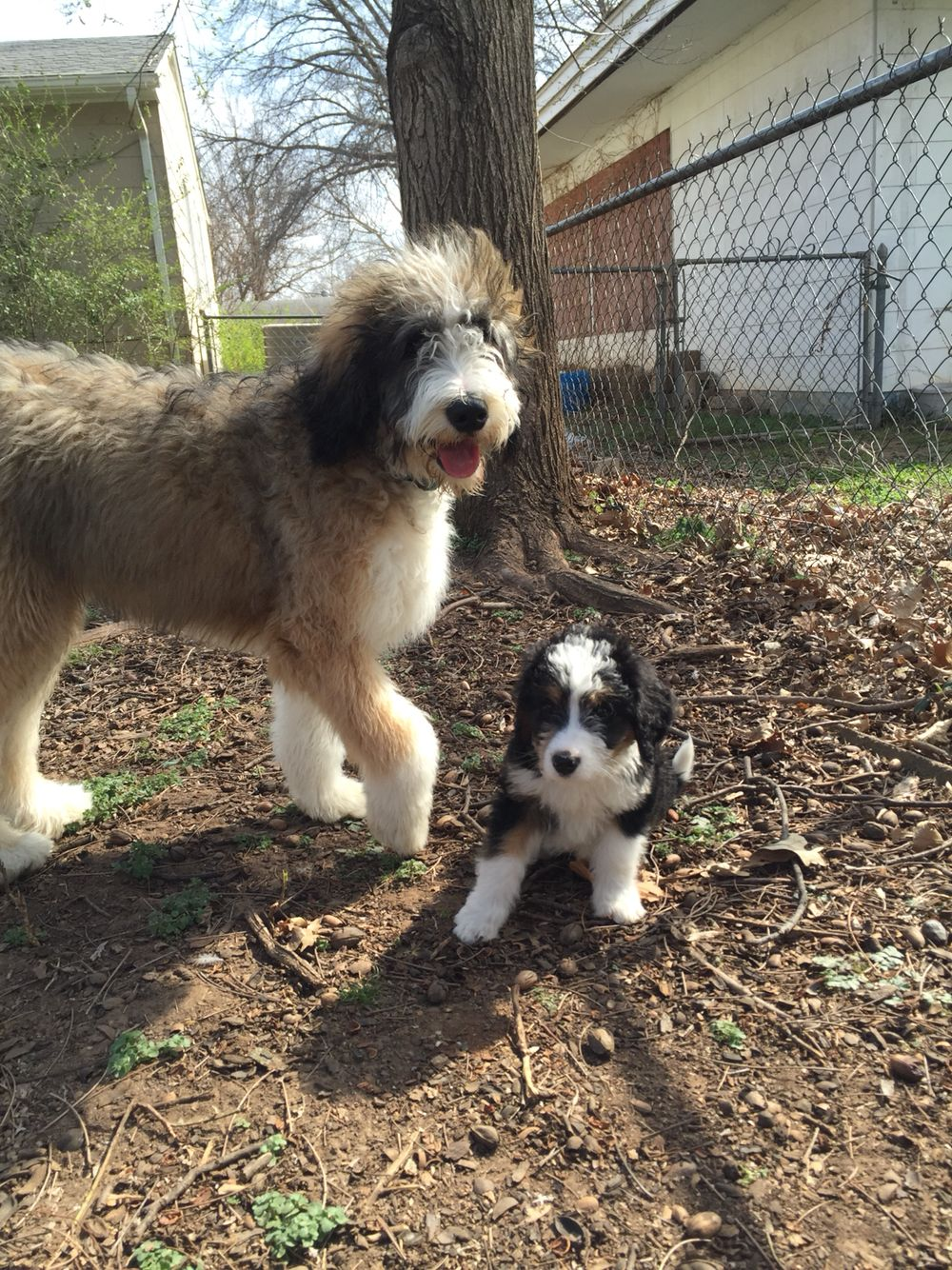 Bernedoodle Bernese Mountain Dogs X Poodles All The Cute
